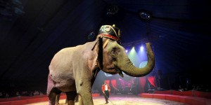 les-elephants-de-corrado-togni-seront-sur-la-piste-du-cirque_1540544_800x400.jpg